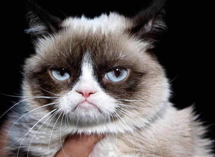 布偶猫,又称布拉多尔猫,性格温顺,在微博有8万多的粉丝,被网友们誉为